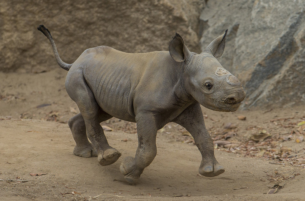 This Critically Endangered Baby Rhino Is An Adorable ... Rhinoceros Baby