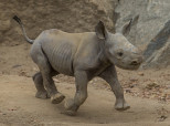 Hello There, Little Adorable Critically Endangered Baby Rhino!