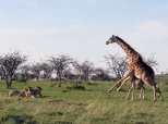 This Mother Giraffe Will Do Anything To Protect Her Calf