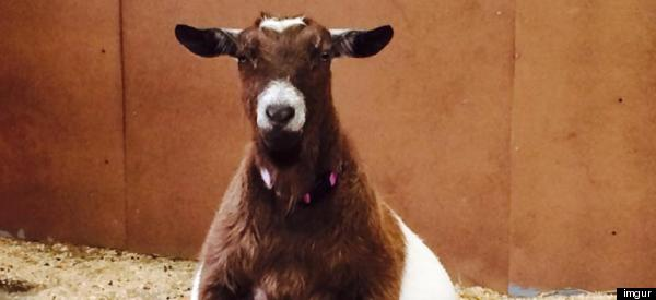 This Pregnant Goat Will Forever Change What You Think Is Beautiful