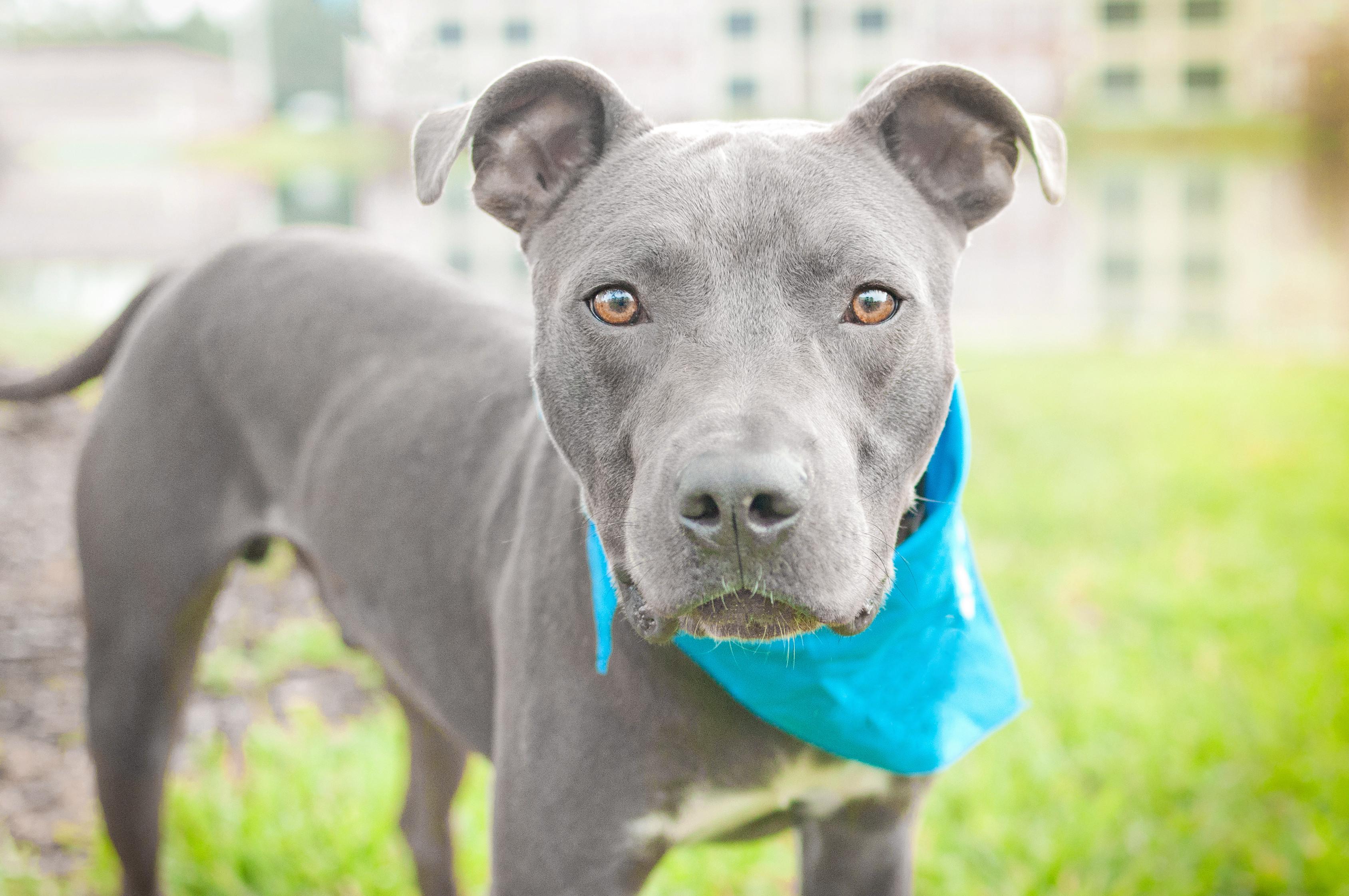 Image result for grey in dog