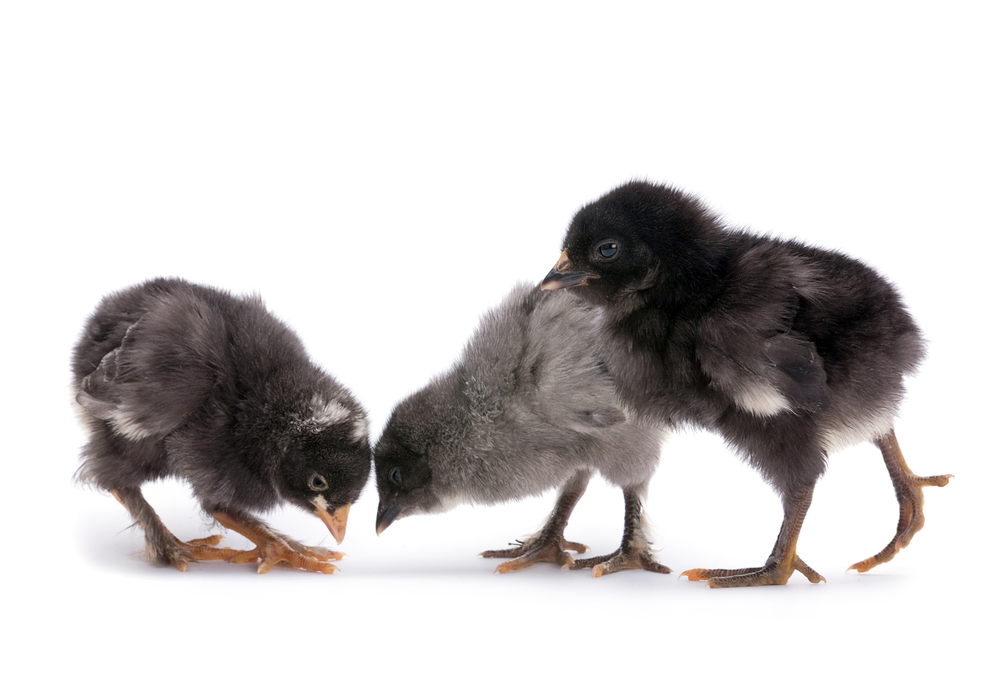 gray baby birds
