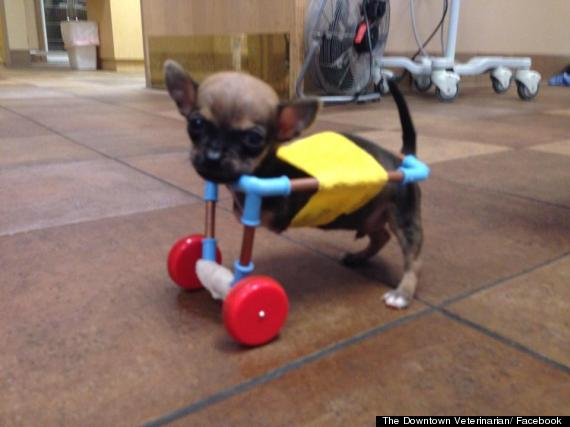 Toys For Legs : Goturbo chihuahua puppy with no front legs gets toy