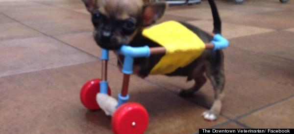 #GoTurbo! Chihuahua Puppy With No Front Legs Improvises With Toy Helicopter Wheels