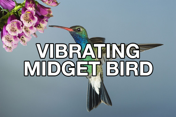 vibrating midget bird