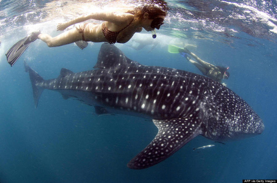 swimming with whale sharks philippines