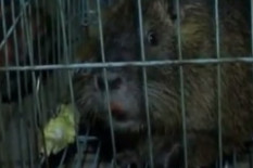A giant rat | Pic: Youtube