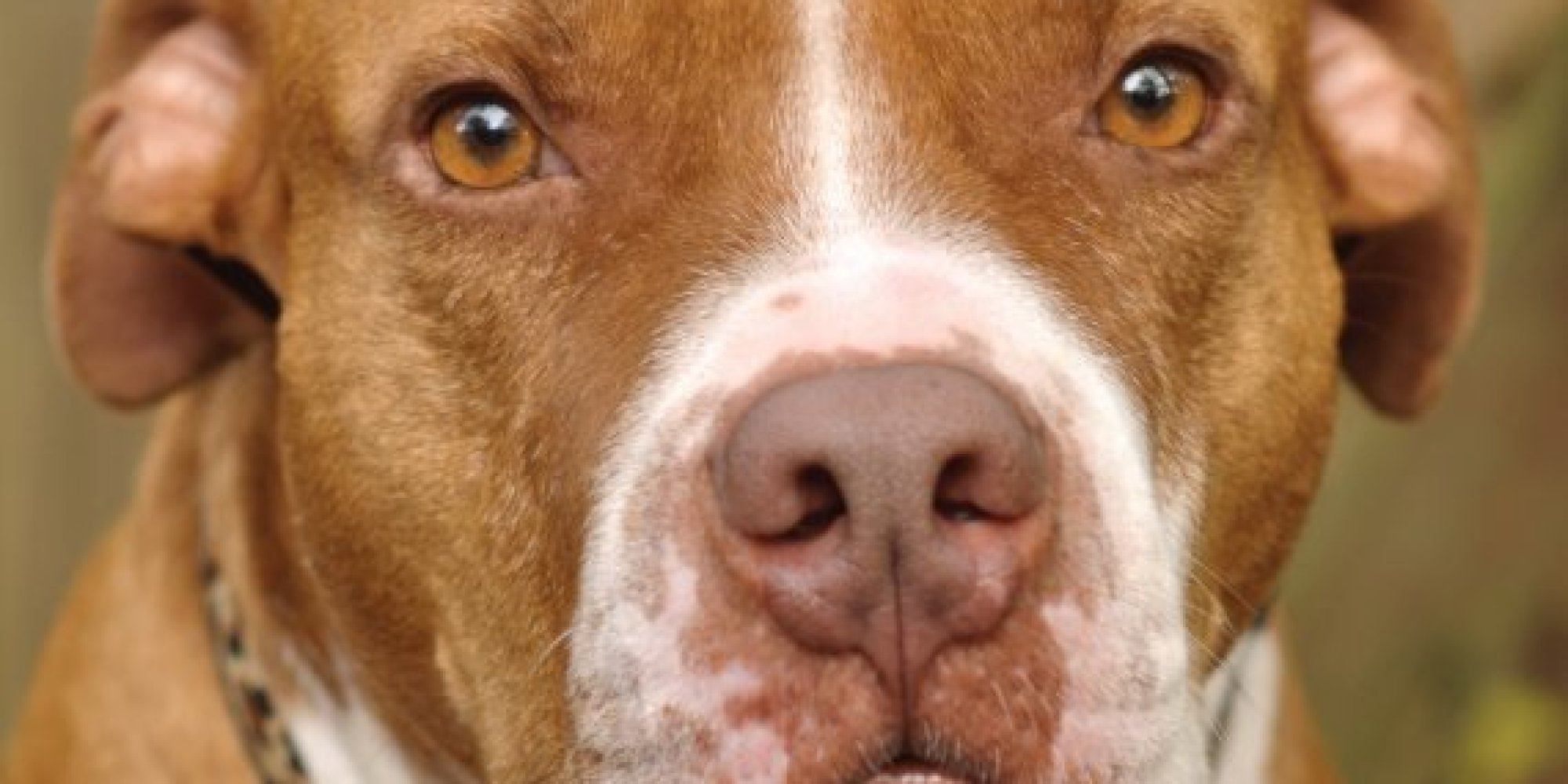 We Asked What Your Pit Bull Means To You Here Are Your