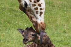 Newborn giraffe with its mother