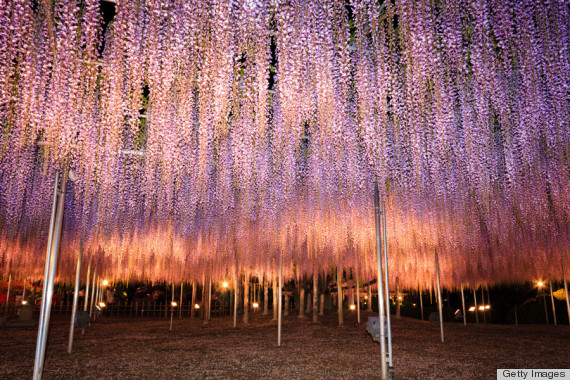This Draping Wisteria Looks Like Purple Rain Will Leave You - Beautiful wisteria plant japan 144 years old