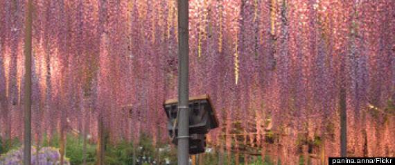 wisteria ashikaga flower park