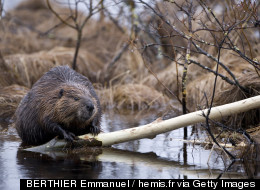 A Pair Of Beavers Just Snagged Some Prime Vancouver Real Estate