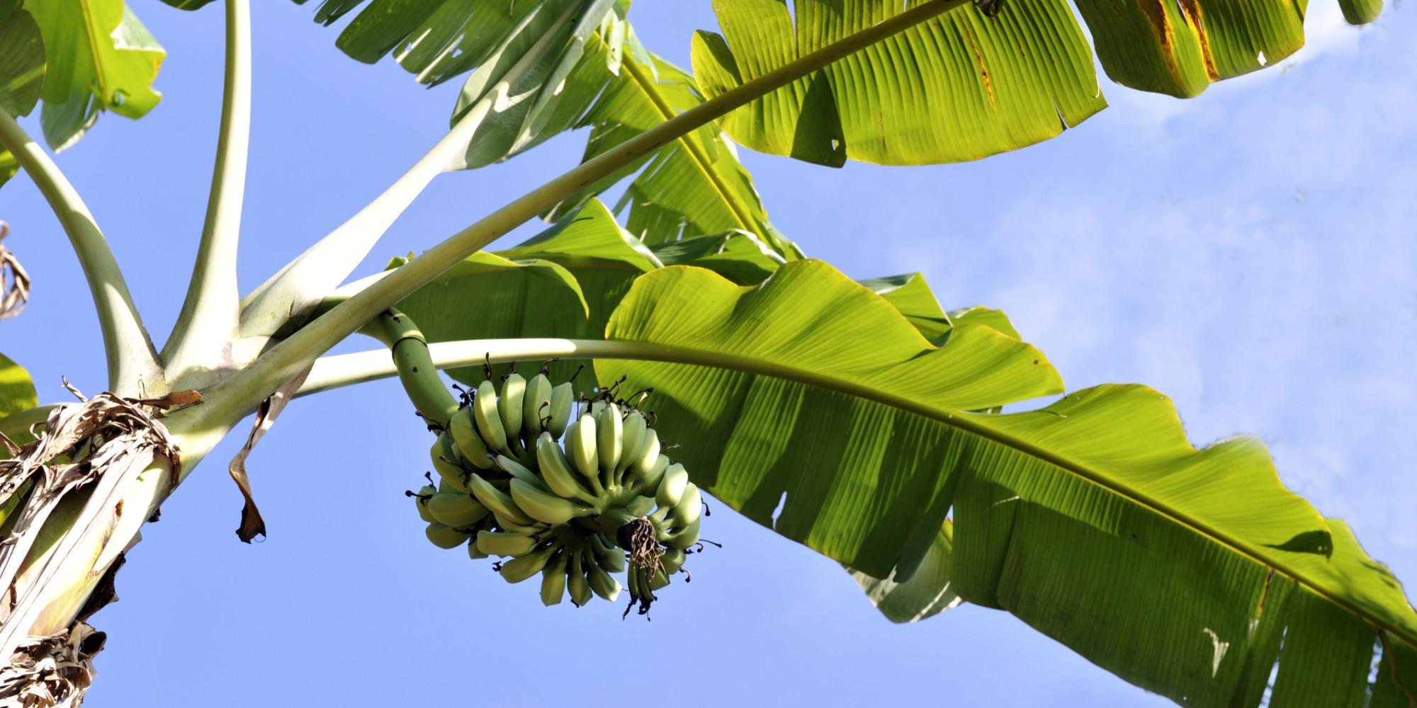 das ende der banane ein pilz bedroht die frucht weltweit gert kema. Black Bedroom Furniture Sets. Home Design Ideas