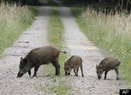 Germany Radioactive Boars