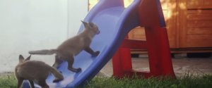 Foxes Play Slide