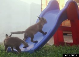 These Fox Cubs Playing On A Slide Is Just About The Cutest The Thing You'll See Today