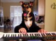 Half-Human, Half-Dog Plays Waltz On Keyboard, Licks Keys