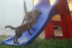 Foxes on slide | Pic: YouTube