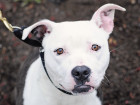 These 75 New York-Area Pit Bulls Are Looking For Forever Homes