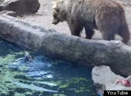 Watch The Amazing Moment A Bear Rescued A Drowning Crow