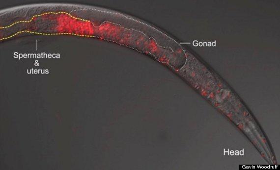 nemotode worm