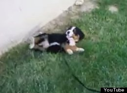 This Video Of Puppies Rolling Down Hills Is Guaranteed To Make Your Day At Least 50% Better