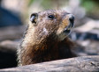 Woodchuck To Blame For Crash That Nearly Killed Teen