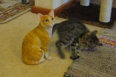 Kitten battles ceramic cat | Pic: YouTube
