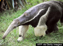 Apparently, Giant Anteaters Can Kill People