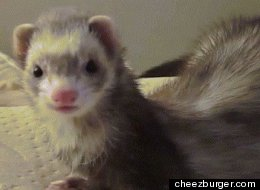 GIF Of The Day: Dramatic Ferret Is Dramatic
