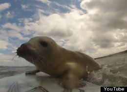 WATCH: Determined Seal Pup Just Wants To Learn How To Surf