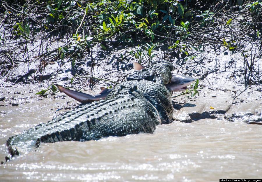 croc vs shark