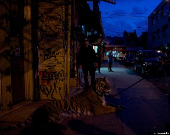 tiger toronto 3