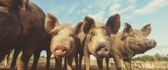 PIG FEED LOT
