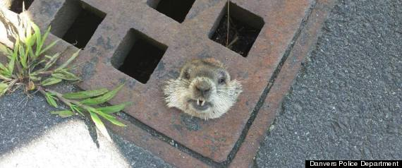 woodchuck rescue