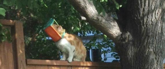 BUTTERSCOTCH CAT