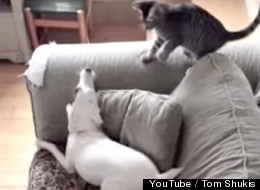 Dog Goes Bananas Meeting Family's New Kitten. Meanwhile, Kitty Acts As Kitties Do