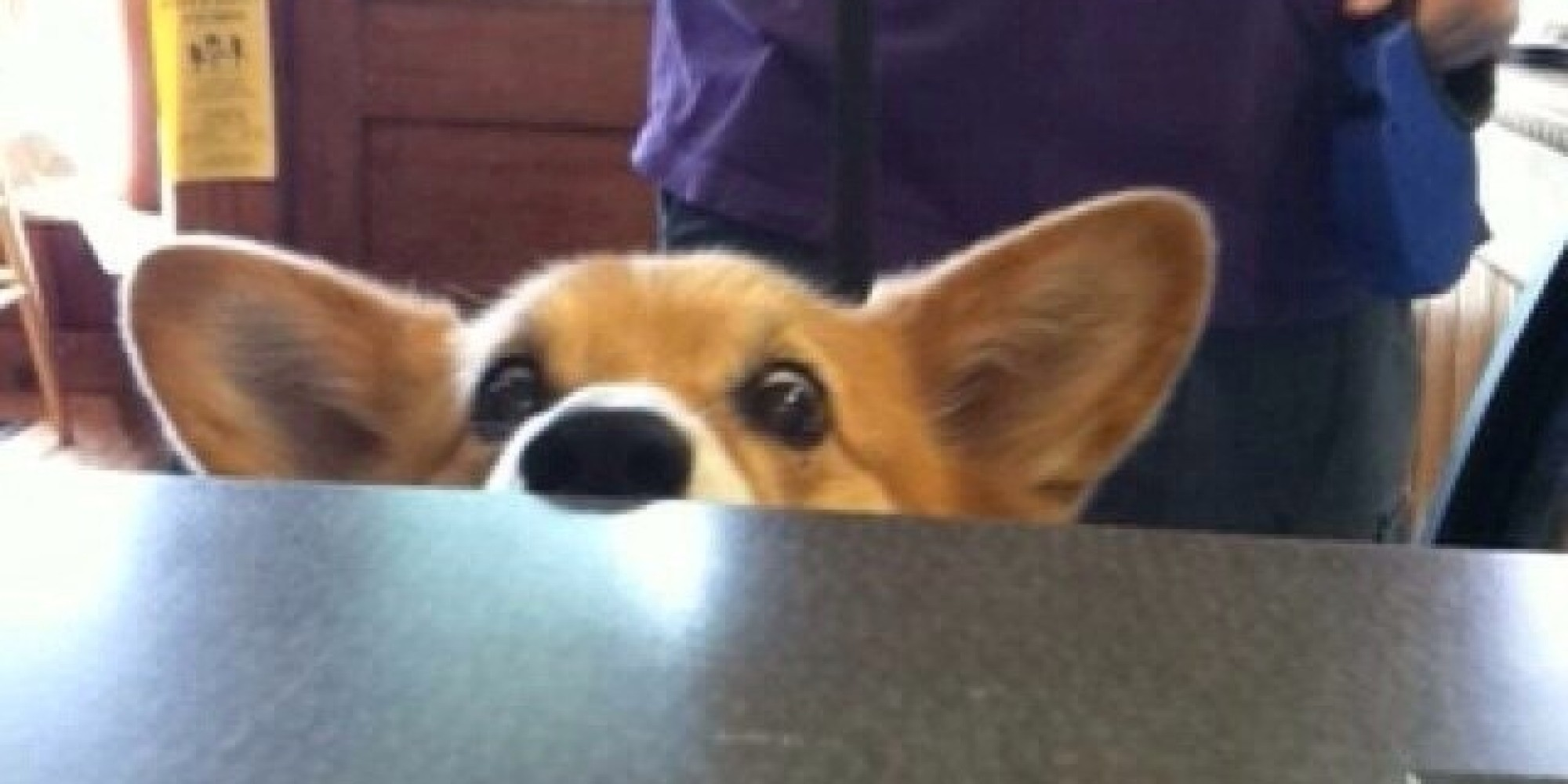 No Human Is Immune To This Corgi's Please-Can-I-Have-A-Treat Face ...