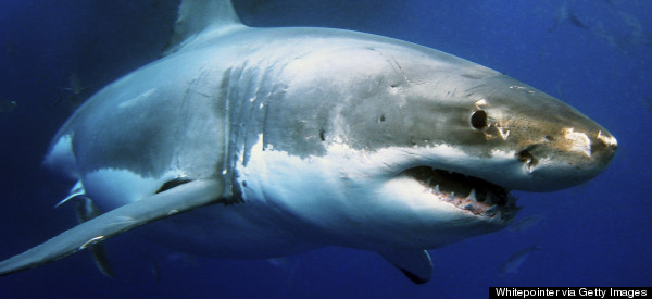 British Sharks in Troubled Waters