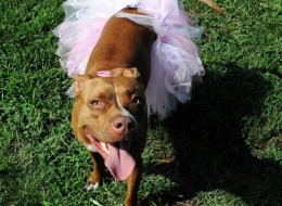 15 Times Pit Bulls Made Weddings Infinitely Better