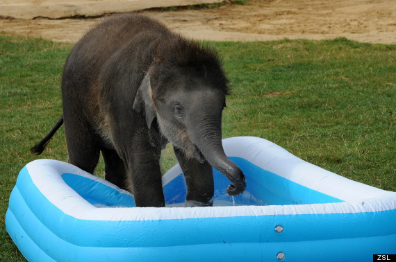 baby max elephant whipsnade zoo