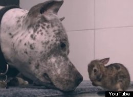 Pit Bull Licks Baby Bunny In An Explosion Of Cuteness