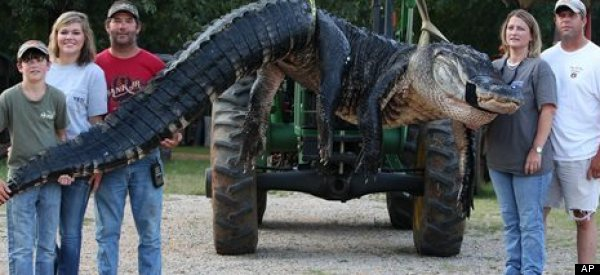 Half-ton Alligator Sets World Record