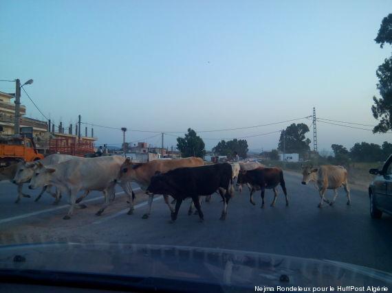 vaches route algersousse