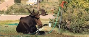 Moose Drinking Sprinkler Video