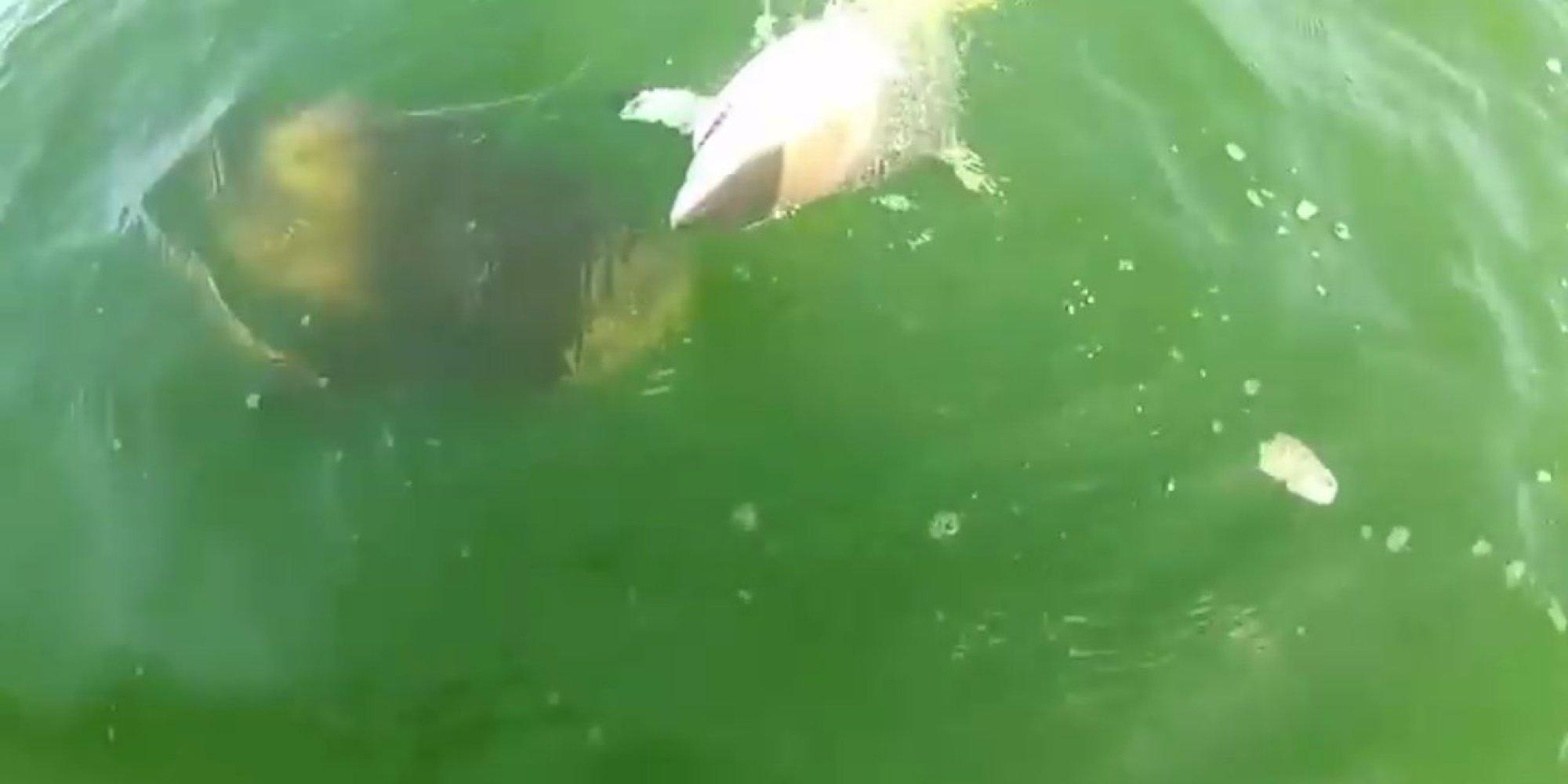 Goliath Grouper Eats Shark Massive Fish Devours 4...