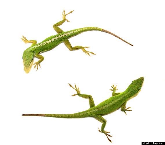 lizards regenerate tail