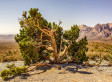 We Can't Believe This Red Rock Canyon Tree Exists On Planet Earth