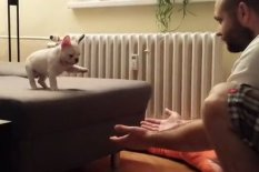 French bulldog puppy on edge of chair | Pic: YouTube
