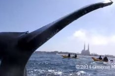 Humpback whale tail | Pic: YouTube